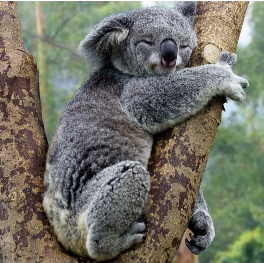 Koalas+In+Danger